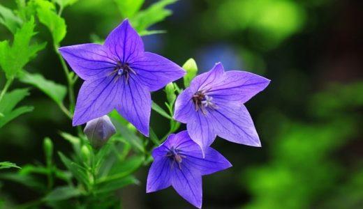 桔梗の花言葉が怖い?紫・白・青など色別の意味も徹底解説!!