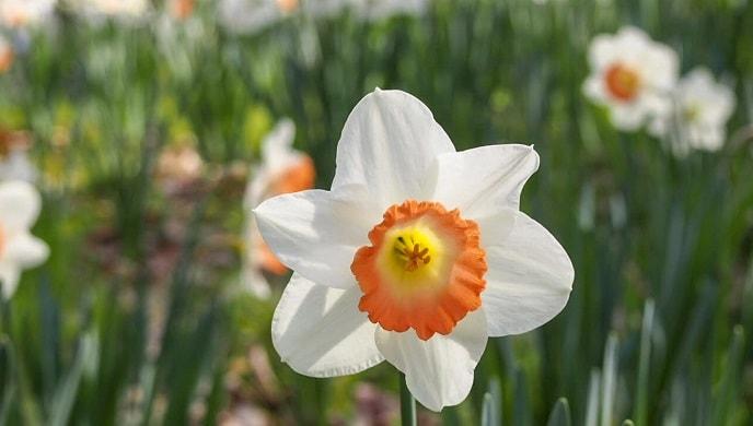 口紅水仙の花