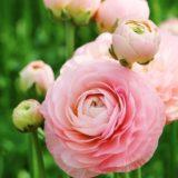 pink-ranunculus
