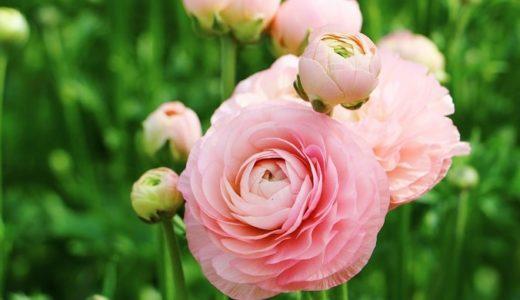 ラナンキュラスの花言葉を色別に!赤や白など30の意味を紹介!!