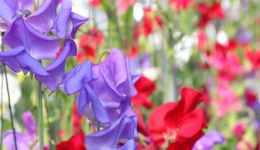 スイートピーの花言葉!赤・白・紫など色別で17の意味を紹介