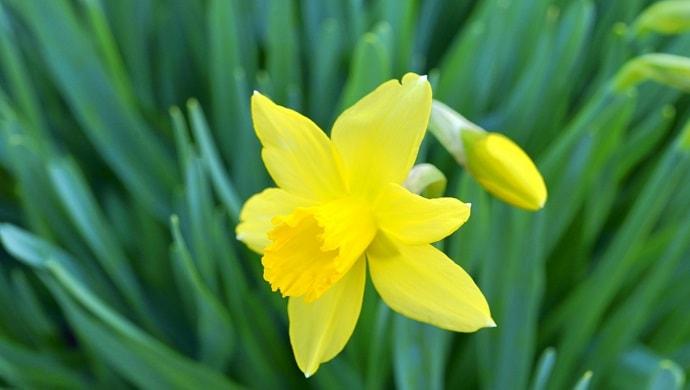 黄色いラッパスイセンの花