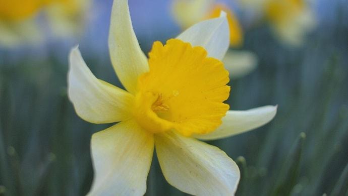 ラッパスイセンの花