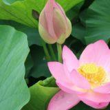 ピンク色の睡蓮の花