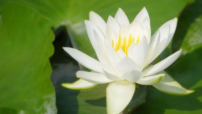 白い睡蓮の花