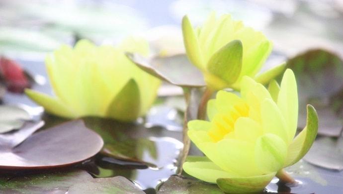 黄色い睡蓮の花