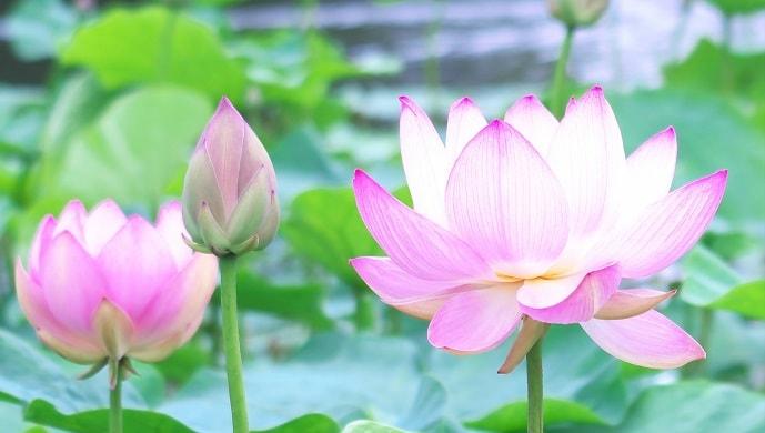 薄いピンク色に咲く睡蓮