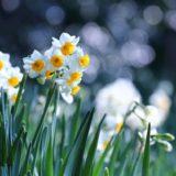 白色の水仙