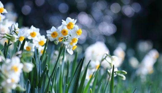 水仙の花言葉!黄や白などの色別や種類別で17の意味を紹介!!