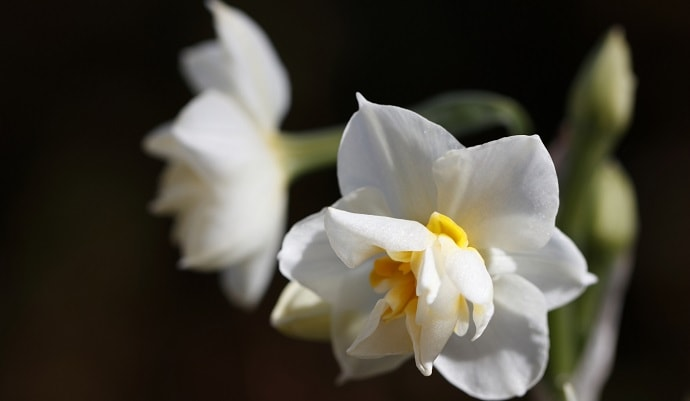 白色の水仙の花