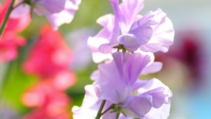 紫色のスイートピー