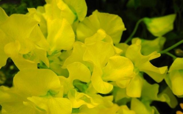 黄色いスイートピー