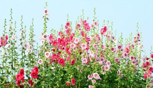葵の花言葉の意味が怖い?種類別14の意味と名付けにぴったりな理由