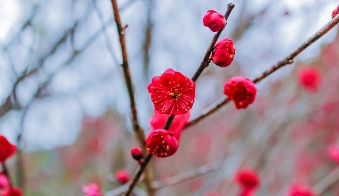 赤い梅の花
