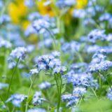 勿忘草の花