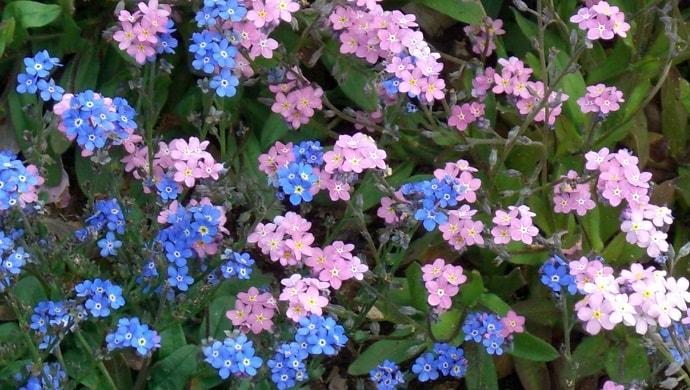 2色の勿忘草の花