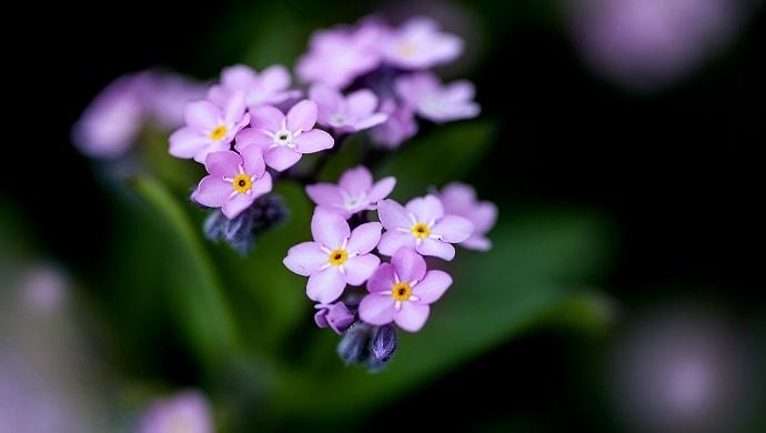 紫色の勿忘草の花
