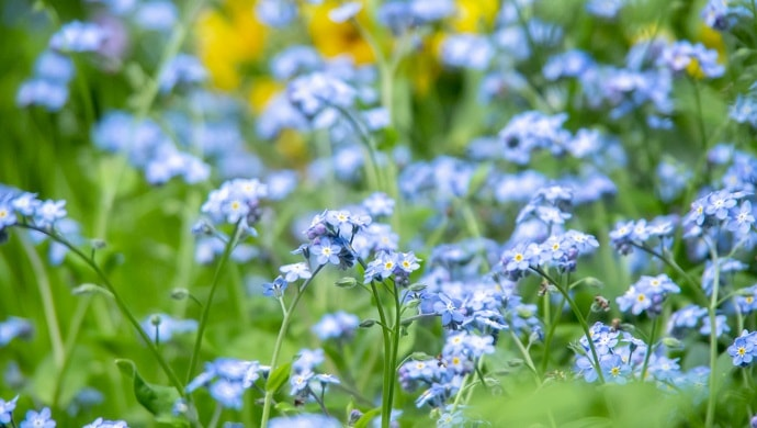 青色の勿忘草の花