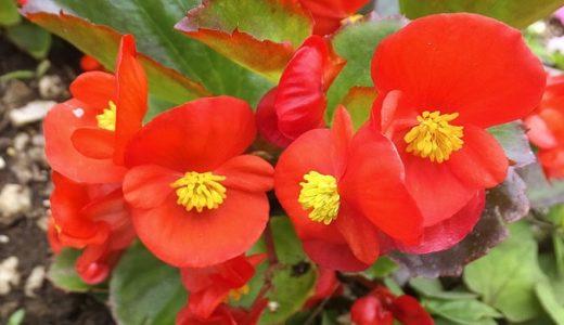ベゴニアの花言葉は母の日におすすめ!白や黄色などの色別にも紹介!!