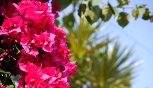 ブーゲンビリアの花言葉は怖い?情熱的な3つの意味を紹介!!