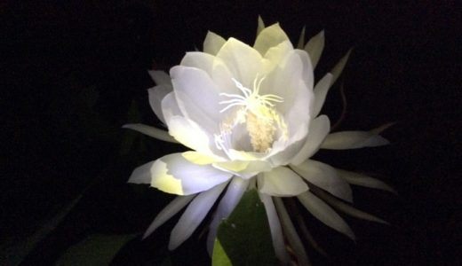 月下美人の花言葉は怖い?月夜に咲く花に込められた言葉は美しい