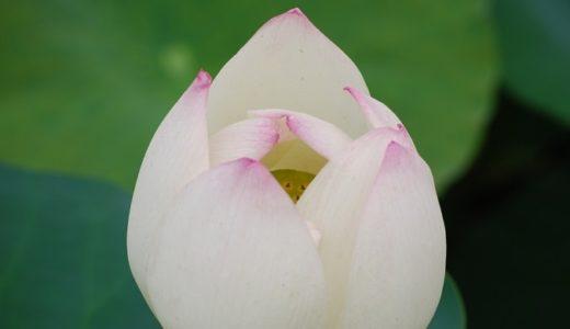 蓮(ハス)の花言葉の意味が怖い?花に込められた7つの意味を紹介!!