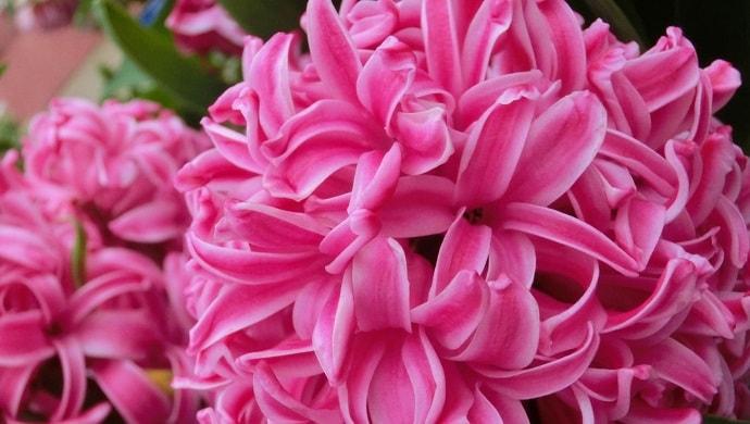 ピンク色のヒヤシンス
