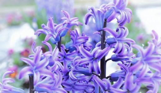 ヒヤシンスの花言葉は怖い?白や紫色など色別で20の意味を紹介!!