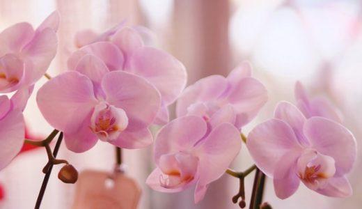 胡蝶蘭の花言葉は怖い?白やピンクなど色別で8個の意味を紹介!!
