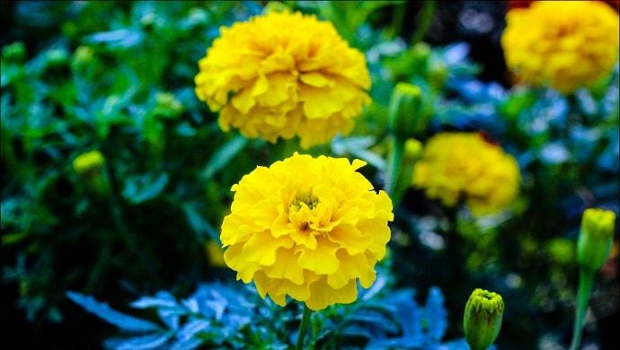 黄色いマリーゴールドの花
