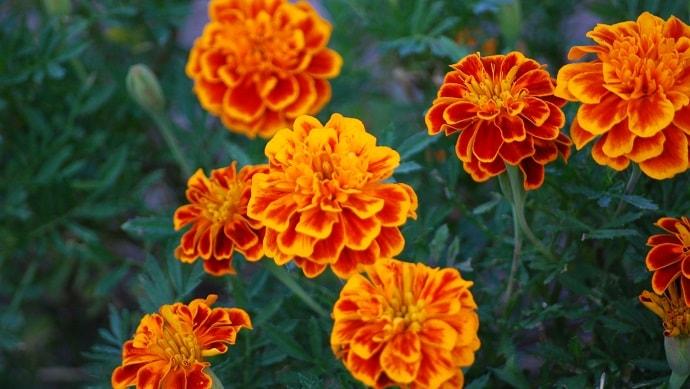 オレンジ色のマリーゴールドの花