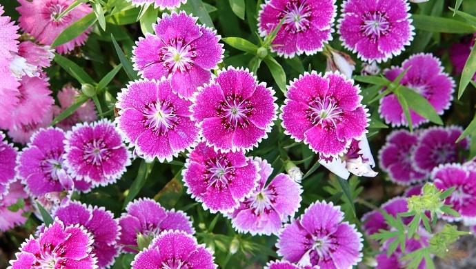 ピンク色の撫子の花