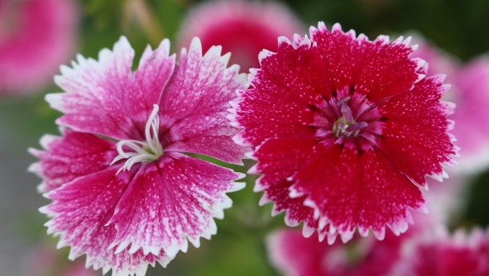 赤い撫子の花