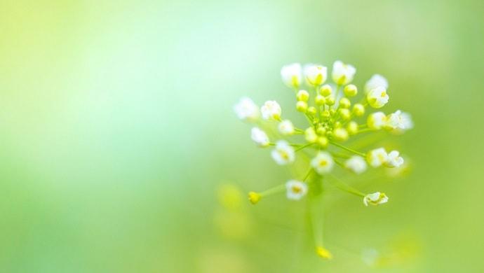 ナズナの花の写真