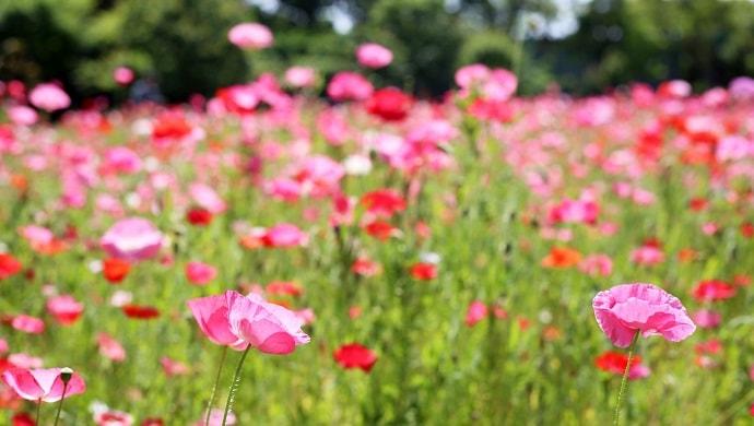 ピンク色のオリエンタルポピー
