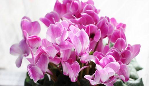 シクラメンの花言葉は怖い?白やピンクの色別で20の意味を紹介!!