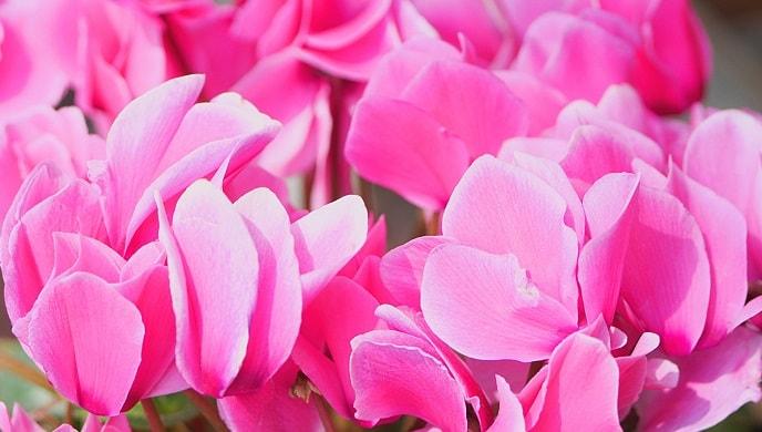ピンク色のシクラメン