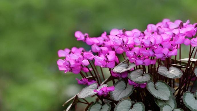 紫色のシクラメン