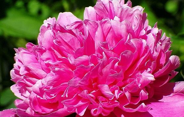 ピンク色の芍薬の花