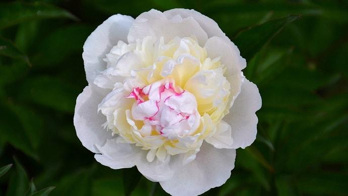 白い芍薬の花