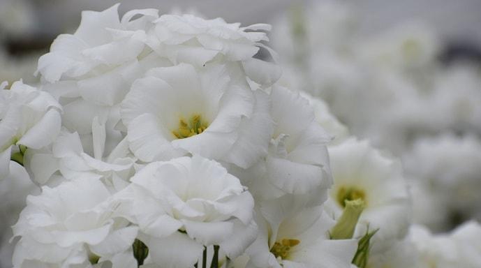 白いトルコキキョウ