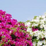 tutuji-pink-white
