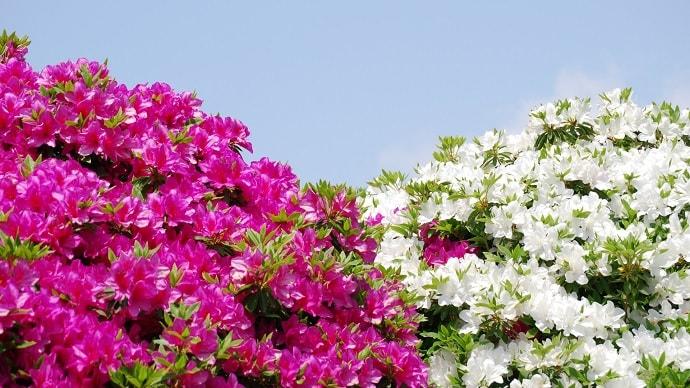 白とピンクのツツジの花