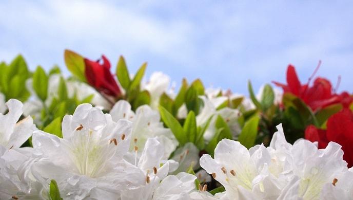 白いツツジの花