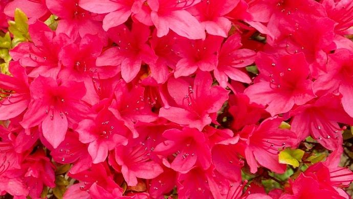 赤く鮮やかなツツジの花