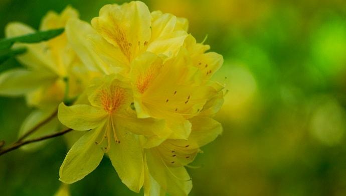 黄色いツツジの花