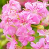 zeraniumu-pink