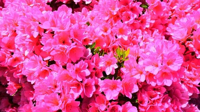 ピンク色のアザレアの花