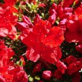 赤いアザレアの花