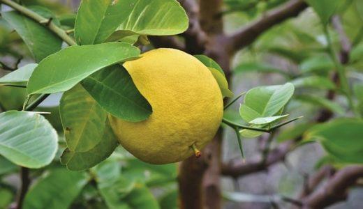 柚子の花言葉の意味!人気果実の5つの言葉を紹介